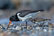 Austernfischer erreicht eine Fluegelspannweite von 80 - 85cm  -  (Foto Austernfischer im Ruhekleid), Haematopus ostralegus, Eurasian Oystercatcher has a wingspan of 80 to 85cm  -  (Photo Oystercatcher in winter plumage)