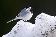 Bachstelze, die Balz findet am Boden statt  -  (Foto Bachstelze Altvogel), Motacilla alba, White Wagtail, the courtship display takes place on the ground  -  (European White Wagtail - Photo White Wagtail adult bird)
