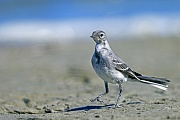 Bachstelze ist der Nationalvogel von Lettland  -  (Foto Bachstelze fluegger Jungvogel auf Nahrungssuche), Motacilla alba, White Wagtail is the national bird of Latvia  -  (European White Wagtail - Photo White Wagtail fledgling in search of food)