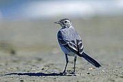 Bachstelze, der Brutbeginn ist im April, weiter noerdlich finden die Bruten spaeter statt  -  (Foto Bachstelze fluegger Jungvogel), Motacilla alba, White Wagtail, the breeding season for most is in April, with the season starting later further north  -  (European White Wagtail - Photo White Wagtail fledgling)