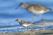 Bachstelzen brueten flaechendeckend in ganz Europa und Asien  -  (Foto Bachstelze fluegger Jungvogel an einem Seeufer), Motacilla alba, White Wagtail breeds throughout Europe and Asia  -  (European White Wagtail - Photo White Wagtail fledgling on a lakeshore)