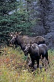 Elche koennen taeglich mehr als 32kg Nahrung aufnehmen  -  (Alaskaelch - Foto junger Elchbulle und Elchkaelber), Alces alces - Alces alces gigas, Moose can eat up to 32kg of food per day  -  (Alaskan Moose - Photo young bull Moose and calves)
