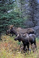 Elche sind sehr gute Schwimmer  -  (Alaska-Elch - Foto junger Elchbulle und Elchkaelber), Alces alces - Alces alces gigas, Moose are excellent swimmers  -  (Alaskan Moose - Photo young bull Moose and calves)