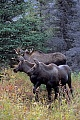 Elche sind die einzige Hirschart, die auch unter Wasser fressen kann  -  (Alaskaelch - Foto junger Elchbulle und Kaelber), Alces alces - Alces alces gigas, Moose are the only deer that are capable of feeding underwater  -  (Alaska Moose - Photo young bull Moose and calves)
