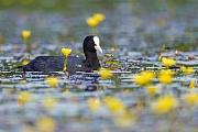 Blaesshuhn, beide Geschlechter beteiligen sich am Nestbau  -  (Blaessralle - Foto Blaesshuhn zwischen Seekannen), Fulica atra, Eurasian Coot, both sexes build the nest  -  (Black Coot - Photo Eurasian Coot and Water Fringe)