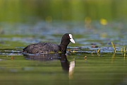 Blaesshuhn, die Geschlechter koennen anhand des Gefieders nicht unterschieden werden  -  (Blaessralle - Foto Blaesshuhn auf Nahrungssuche), Fulica atra, Eurasian Coot, the plumage of both sexes look identical  -  (Black Coot - Photo Eurasian Coot foraging)