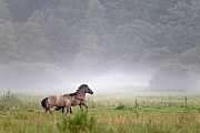 Heck Horse stallions fight playful about the ranking in a river plain - (Tarpan - breed back)