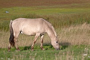 Konikhengst aest auf einer Salzgraswiese - (Waldtarpan - Rueckzuechtung), Equus ferus caballus - Equus ferus ferus, Heck Horse stallion graze on a salt meadow - (Tarpan - breed back)