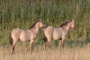 Konikfohlen am Rand eines Schilfguertels - (Waldtarpan - Rueckzuechtung), Equus ferus caballus - Equus ferus ferus, Heck Horse foals at the border of a reed belt - (Tarpan - breed back)