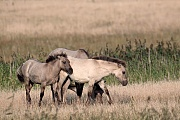 Heck Horse foals and mare at the border of a reed belt - (Tarpan - breed back)