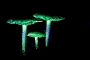 Pilze im UV-Licht, Biofluoreszenz, Mushroom in UV light