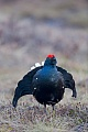 Black Grouse, the hen builds the nest  -  (Blackcock - Photo Black Grouse cock on courtship territory)