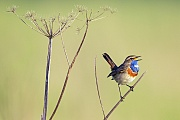 Blaukehlchen gehoeren zu den Zugvoegeln  -  (Weisssterniges Blaukehlchen - Foto Blaukehlchen Maennchen auf einer Singwarte), Luscinia svecica, Bluethroat is a migratory bird  -  (White-spotted Bluethroat - Photo Bluethroat male in breeding plumage on a song post)