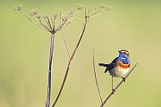 Blaukehlchen, das Vorkommen umfasst weite Teile Europas, Asiens und einige Gebiete im Westen und Norden Alaskas  -  (Weisssterniges Blaukehlchen - Foto Blaukehlchen Maennchen im Brutkleid), Luscinia svecica, Bluethroat is found in Europe, Asia and in western and northern Alaska  -  (White-spotted Bluethroat - Photo Bluethroat male in breeding plumage)