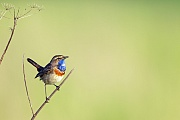 Blaukehlchen, das Nest wird nur vom Weibchen gebaut  -  (Weisssterniges Blaukehlchen - Foto Blaukehlchen Maennchen auf einer Singwarte), Luscinia svecica, Bluethroat, only the female builds the nest  -  (White-spotted Bluethroat - Photo Bluethroat male singing)