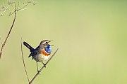 Blaukehlchen, nur das Maennchen hat im Brutkleid die namensgebende blaue Brust  -  (Weisssterniges Blaukehlchen - Foto Blaukehlchen Maennchen auf einer Singwarte), Luscinia svecica, Bluethroat, only the male has a blue bib in breeding plumage  -  (White-spotted Bluethroat - Photo Bluethroat male in breeding plumage on a song post)
