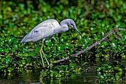 Blaureiher, das Gefieder der Jungvoegel ist in den ersten Monaten weiss  -  (Foto Jungvogel mit dem typisch weissen Federkleid), Egretta caerulea, Little Blue Heron, juvenile birds are all white  -  (Photo juvenile bird)