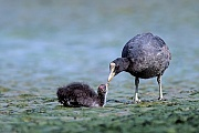 Blaesshuhn, das Gelege kann 10 Eier umfassen  -  (Blaessralle - Foto Blaesshuhn fuettert Jungvogel), Fulica atra, Eurasian Coot, the female lays up to 10 eggs  -  (Coot - Photo Eurasian Coot adult bird feeds chick)