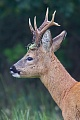 Rehbock   1 - Der Heimliche Achtender, Capreolus capreolus, Roebuck   1 - The Secret Eight-Pointer