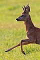 Rehbock  21 - Der Gabler steht im selben Bereich wie Bock 20 und weicht diesem sofort aus, Capreolus capreolus, Roebuck  21 - The Forker stands in the same area like Buck 20 and eludes when he appears