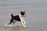 Border Collies sind sehr fordernd, verspielt, aktiv und benoetigen viel Aufmerksamkeit vom Hundehalter, Canis lupus familiaris, Border Collie is very demanding, playful and energetic