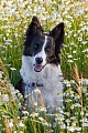 Border Collie, die am haeufigsten auftretende Fellfarbe ist schwarz-weiss, Canis lupus familiaris, Border Collie the most seen colour pattern is black and white