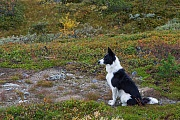 Border Collie, es gibt 2 Fellvarianten, entweder mit weichen oder rauhen Fell, Canis lupus familiaris, Border Collie have a double coat which varies from smooth to rough