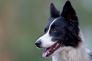 Border Collie, die Farbe der Augen variiert von braun bis blau, Canis lupus familiaris, Border Collie, the eye colour varies from brown to blue