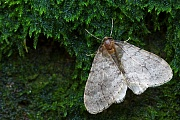 Northern Winter Moth, the female is virtually wingless and cannot fly  -  (Photo male imago)