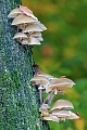 Porcelain Fungus is native to Europe, and specific to beech wood  -  (Slimy Beech Fungus - Photo mushrooms on the trunk of an old beech)