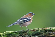 Buchfink, die flueggen Jungvoegel aehneln im Aussehen den Weibchen  -  (Foto Buchfink Weibchen im Schweden), Fringilla coelebs, Common Chaffinch, the juvenile birds resembles the female  -  (Chaffinch - Photo Common Chaffinch female in Sweden)