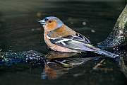 Buchfink, in der Brutzeit lockt das Maennchen mit seinem Gesang das Weibchen in sein Revier  -  (Foto Buchfink Maennchen im Ruhekleid), Fringilla coelebs, Common Chaffinch, the male attracts the female to his territory through song  -  (Chaffinch - Photo Common Chaffinch male in non-breeding plumage)