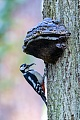 Buntspechte brueten einmal im Jahr  -  (Schildspecht - Foto Buntspecht Maennchen mit Futter fuer die Jungvoegel an der Bruthoehle), Dendrocopus major, Great Spotted Woodpecker, one brood each year is normal  -  (Photo Great Spotted Woodpecker male with food for the chicks at the breeding burrow, the tree hole is directly below the polypore)