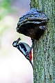 Buntspecht, die Jungvoegel werden unbefiedert und nackt geboren  -  (Grosser Buntspecht - Foto Buntspecht Weibchen mit Futter fuer die Jungvoegel an der Bruthoehle), Dendrocopus major, Great Spotted Woodpecker, the young are hatched unfeathered and blind  -  (Photo Great Spotted Woodpecker female with food for the chicks at the breeding burrow, the tree hole is directly below the polypore)
