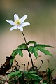 Buschwindroeschen gehoeren zu den Fruehbluehern  -  (Geissenbluemchen - Foto Buschwindroeschen im Buchenwald), Anemone nemorosa, Wood Anemone is an early-spring flowering plant  -  (Thimbleweed - Photo Wood Anemone in a beech forest)