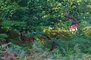 Damwild ist in Irland haeufiger, als das urspruenglich dort vorkommende Rotwid - (Foto kapitaler Damschaufler und Damtiere im Farndickicht), Dama dama, Fallow Deer, Ireland have more Fallow Deer than their native Red Deer - (Photo buck and does in fern thicket)