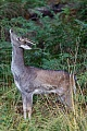 Fallow Deer, in their secound year, the male is called brocket - (Photo brocket)