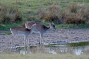 Damhirsch, die Weibchen sind deutlich kleiner als die Maennchen - (Foto Damtier und Kalb trinken Wasser an einem Teich), Dama dama, Fallow Deer, the females are much smaller than males - (Photo doe and fawn)