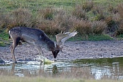 Damhirsch, die Weibchen sind deutlich kleiner als die Maennchen - (Foto Damhirsch trinkt Wasser an einem Teich), Dama dama, Fallow Deer, the females are much smaller than males - (Photo buck drinks water in a pond)