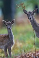 Fallow Deer, fawns spend the first two weeks of their life lying hidden in vegetation, where their mothers visit them for feeding  -  (Photo doe and fawn)