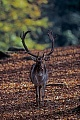 Fallow Deer, in North Germany the rut starts in early October and peaks in mid October - (Photo Fallow Deer buck on the main rut place)