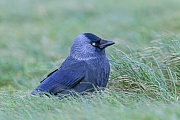 Dohle, das Weibchen legt in der Regel 4 - 6 Eier  -  (Foto Dohle auf Nahrungssuche), Corvus monedula, Western Jackdaw, the female lays usually 4 to 6 eggs  -  (Jackdaw - Photo Western Jackdaw in search of food)