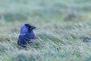 Dohlen brueten im April und Mai  -  (Foto Dohle an der Nordseekueste), Corvus monedula, Western Jackdaw breeds from April to May  -  (Eurasian Jackdaw - Photo Western Jackdaw near the North Sea coast)