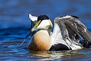 Eiderente, nachgewiesen wurden Tauchtiefen von 50 Metern  -  (St.-Cubertsente - Foto Eiderente Maennchen im Prachtkleid), Somateria mollissima (mollissima), Common Eider can dive up to 50 meters deep  -  (Common Eider Duck - Photo Common Eider drake in breeding plumage)