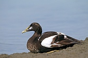 Eiderenten sind relativ gross und gehoeren zur Familie der Meeresenten  -  (Europaeische Eiderente - Foto Eiderente Maennchen im Jugendkleid), Somateria mollissima (mollissima), Common Eider is a large sea-duck  -  (Common Eider Duck - Photo Common Eider male in juvenile plumage)