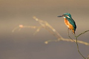 Eisvogel - (Maennchen), Alcedo atthis, River Kingfisher - (male)