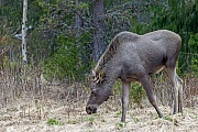 Elch, die Tragzeit betraegt 8 Monate  -  (Foto einjaehriges Elchkalb), Alces alces - Alces alces (alces), Moose, the females have an eight-month gestation period  -  (Photo Moose calf 1 year of age)