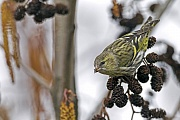 Erlenzeisig ist in Europa und Asien ein haeufiger und weitverbreiteter Singvogel  -  (Zeisig - Foto Erlenzeisig Weibchen frisst Erlensamen), Carduelis spinus, Eurasian Siskin is common and widespread in Europe and Asia  -  (Siskin - Photo Common Siskin female feeds on seeds of alder)