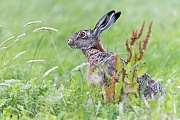 Feldhase sichert angespannt  -  (Europaeischer Feldhase), Lepus europaeus, European Hare secures tight  -  (Brown Hare)
