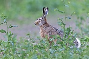 Feldhase in einem Rapsfeld nahe der Nordseekueste  -  (Europaeischer Feldhase), Lepus europaeus, European Hare near the North Sea coast in a field of rape  -  (Brown Hare)